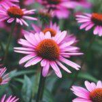 Echinacea Uses + Homemade Echinacea Extract